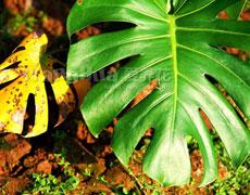龟背竹图片