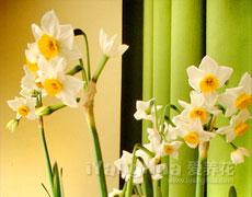 水仙种植百科