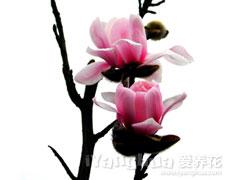 粉玉兰图片