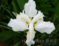 白色鸢尾图片