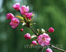 垂丝海棠的种植手册