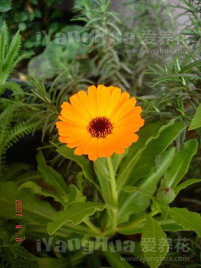 金盏菊图片