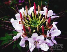 醉蝶花的种植手册