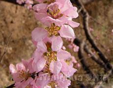 榆叶梅的种植手册
