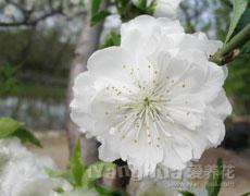 碧桃的种植手册