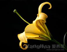 百合花的种植手册