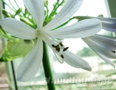 百子莲的种植手册