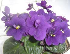 非洲紫罗兰图片