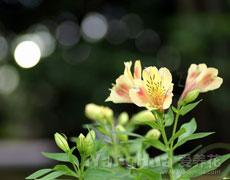 六出花的种植手册