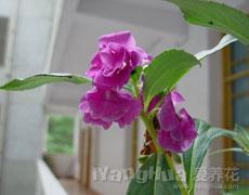 凤仙花的种植手册