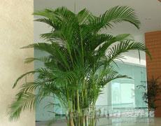 凤尾竹的种植手册