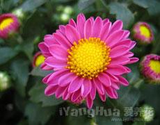 荷兰菊图片