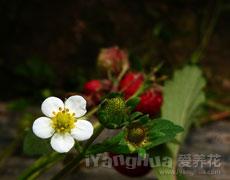 草莓的种植手册