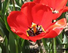 郁金香的种植手册
