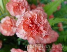康乃馨的种植手册