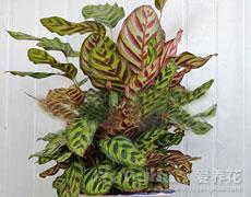 孔雀竹芋图片