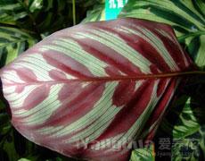 孔雀竹芋的种植手册