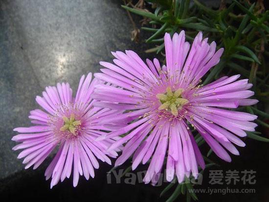 松叶菊图片
