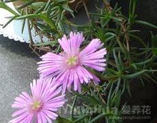 松叶菊的种植手册