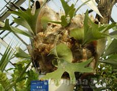 鹿角蕨图片