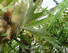 鹿角蕨的种植手册