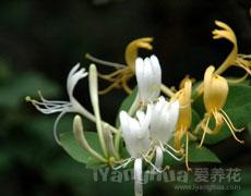 金银花的种植手册