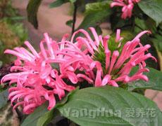 珊瑚花图片