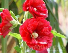 蜀葵的种植手册