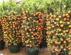 金橘的种植手册