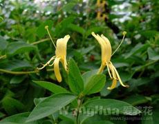 金银花图片