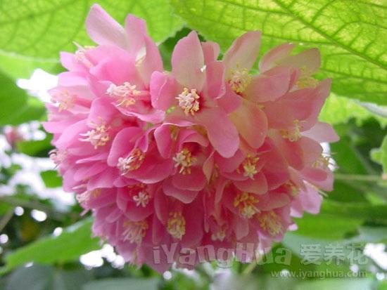 球根海棠图片