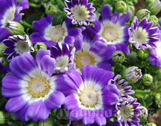 瓜叶菊图片