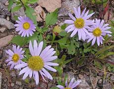 翠菊的种植手册