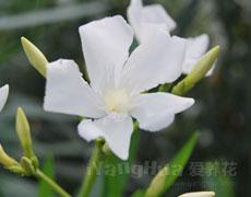 夹竹桃的种植手册