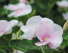 长春花的种植手册