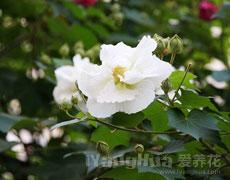 木芙蓉的种植手册