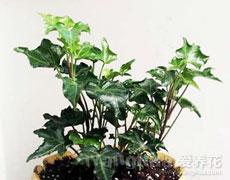 常春藤的种植手册