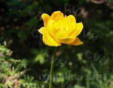 金莲花图片