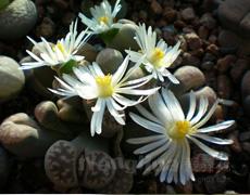 生石花图片