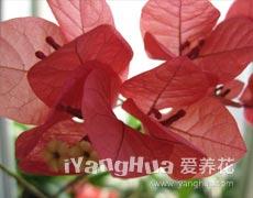 叶子花的种植手册