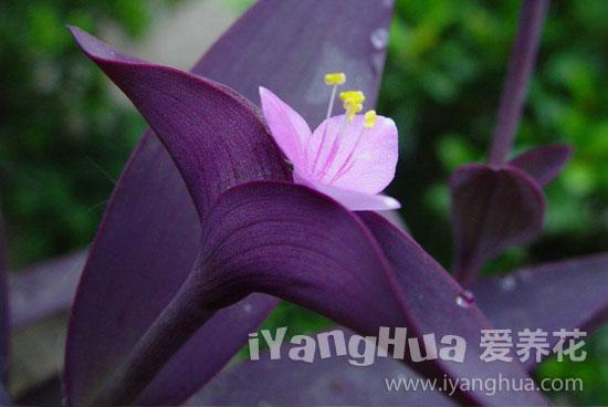 紫竹梅图片