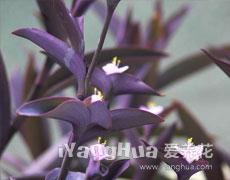 紫鸭跎草的种植手册
