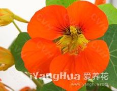 旱金莲的种植手册