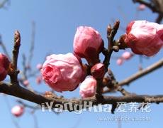 梅花的种植手册