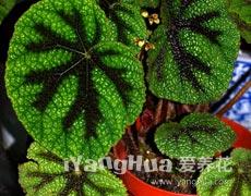 铁十字秋海棠的种植手册