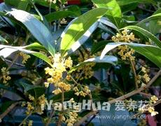 桂花的种植手册
