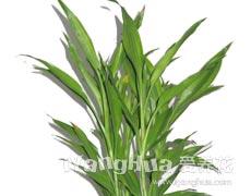 富贵竹的种植手册