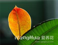 橡皮树图片