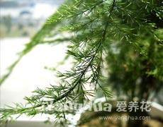 文竹的种植手册