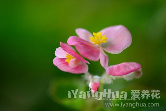 秋海棠图片